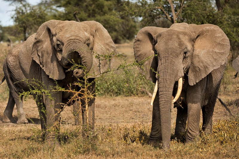 large_Elephants_50.jpg