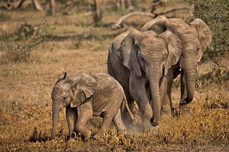 large_Elephants_56.jpg