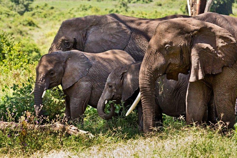 large_Elephants_6-11.jpg