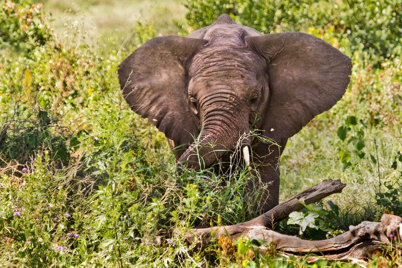 large_Elephants_6-20.jpg