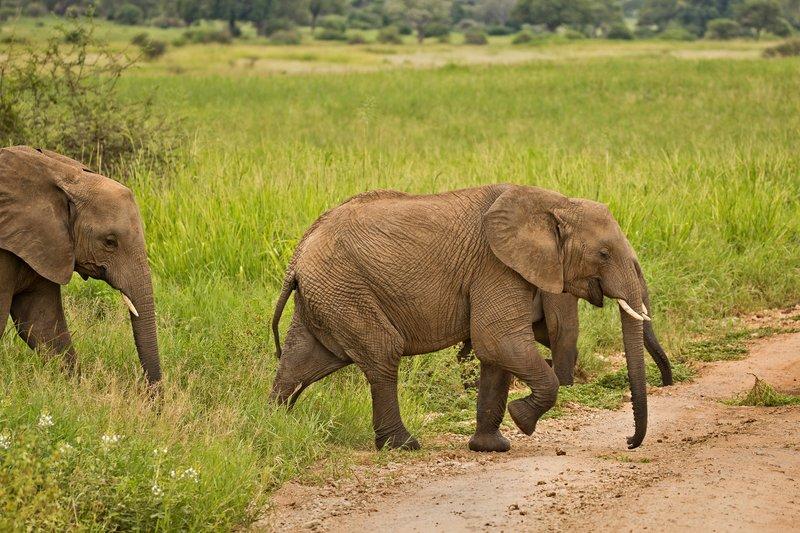 large_Elephants_716.jpg