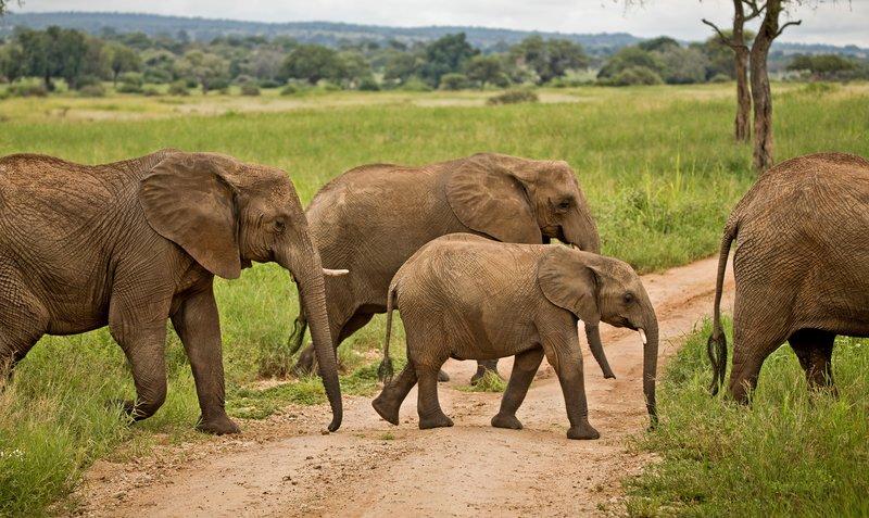 large_Elephants_720.jpg
