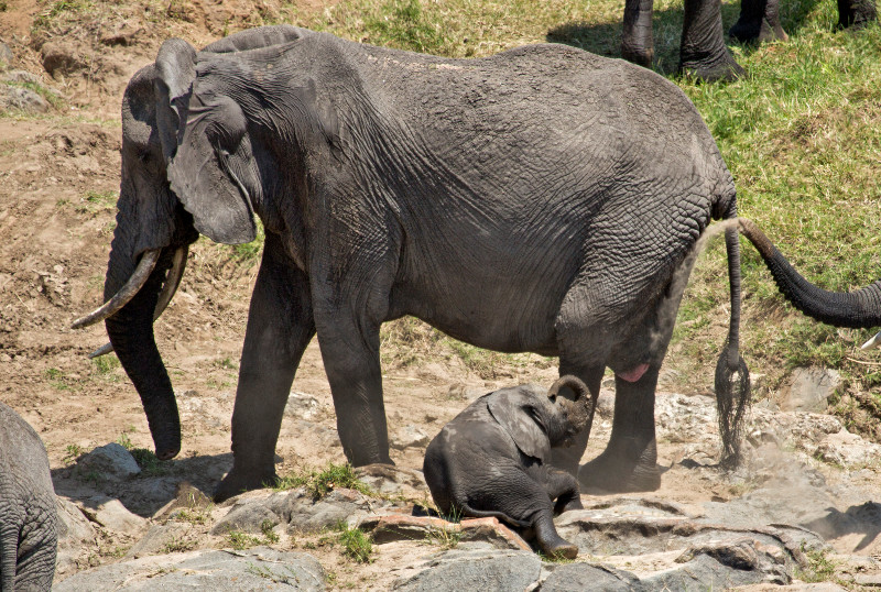 large_Elephants_in_the_Water_4.jpg