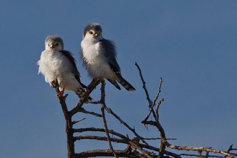 large_Falcons__Pygmy_1.jpg