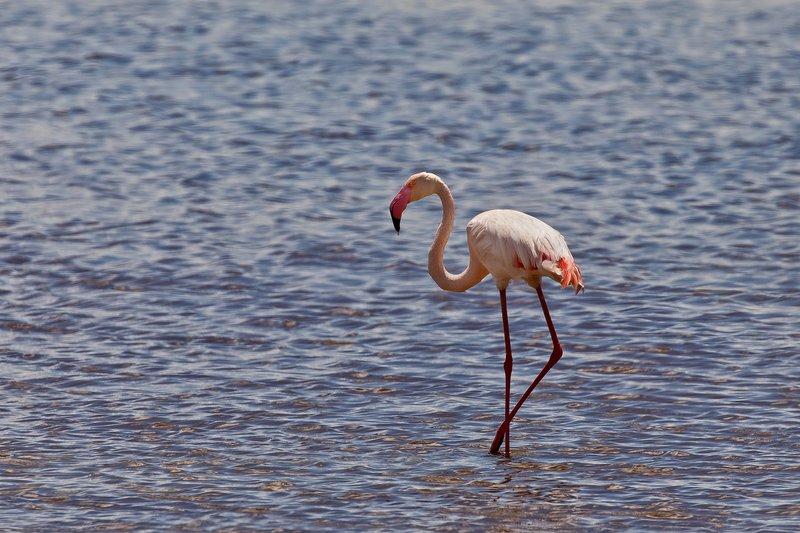 large_Flamingo__Lesser_21.jpg
