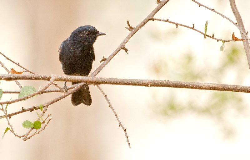 large_Flycatcher..ern_Black_3.jpg