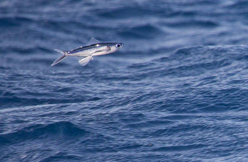 large_Flying_Fish_1.jpg
