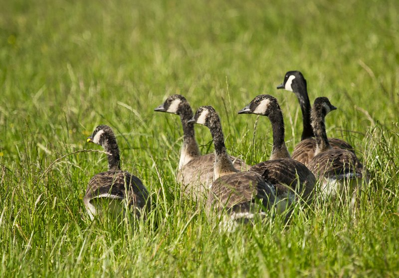 large_Geese_1.jpg