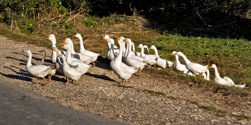 large_Geese_on_the_Road_1.jpg