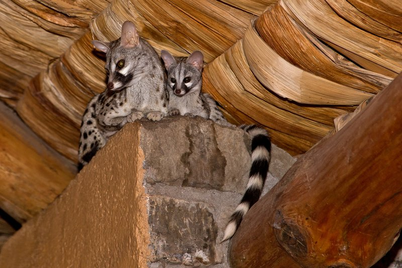 large_Genet__Small_Spotted_7-1.jpg