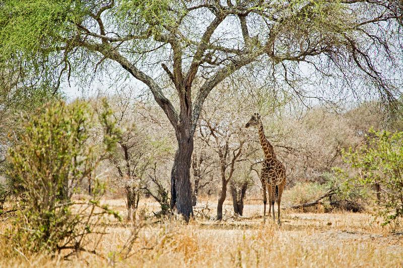 large_Giraffe_1.jpg
