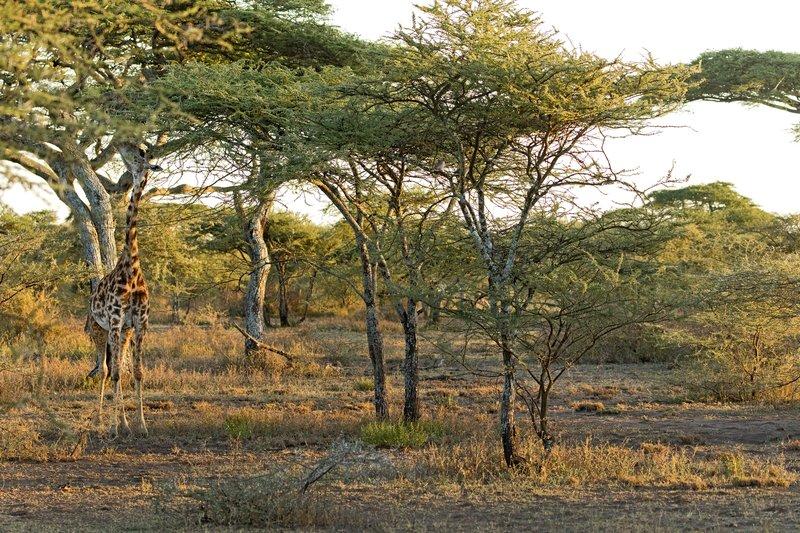 large_Giraffe_101.jpg
