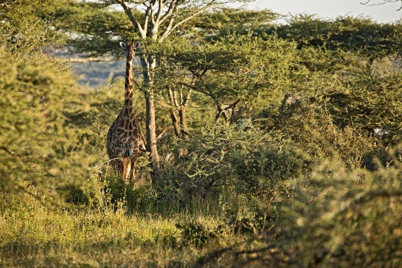 large_Giraffe_121.jpg