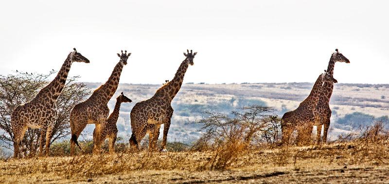 large_Giraffe_41.jpg