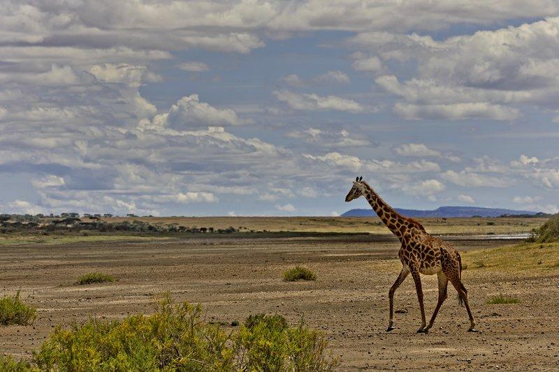 large_Giraffe_43.jpg