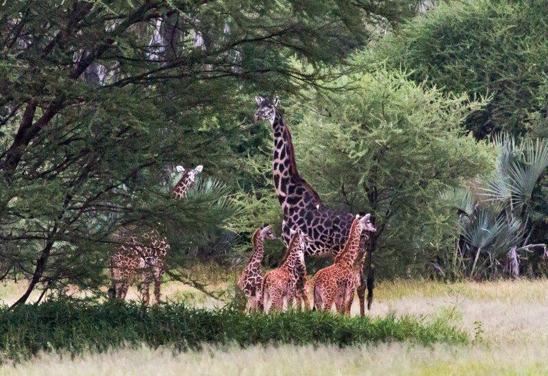 large_Giraffe_5-7.jpg