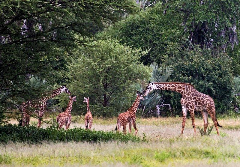 large_Giraffe_5-8.jpg