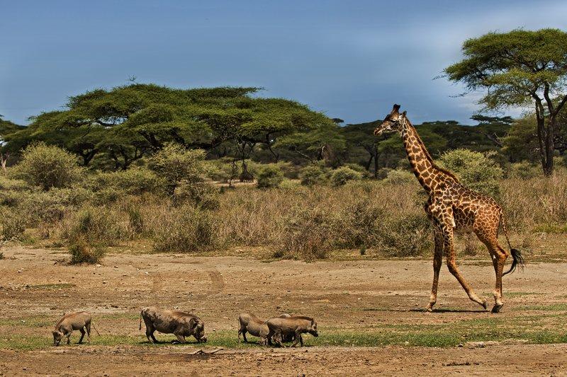 large_Giraffe_55.jpg