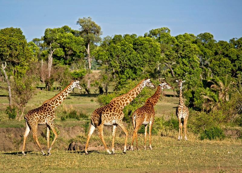 large_Giraffe_62.jpg