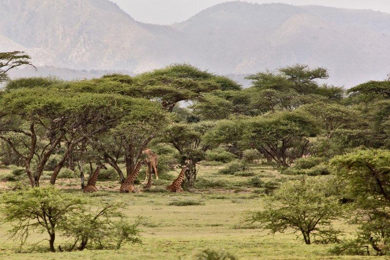 large_Giraffe_7-101.jpg