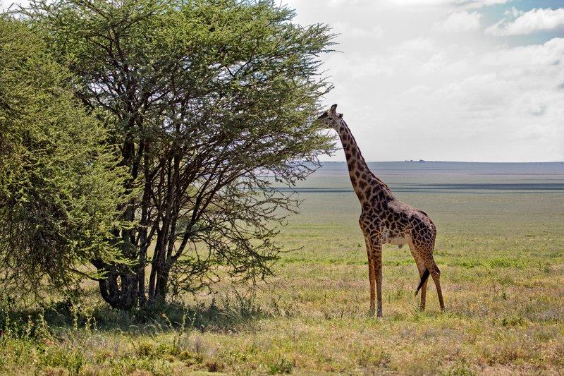 large_Giraffe_9-101.jpg