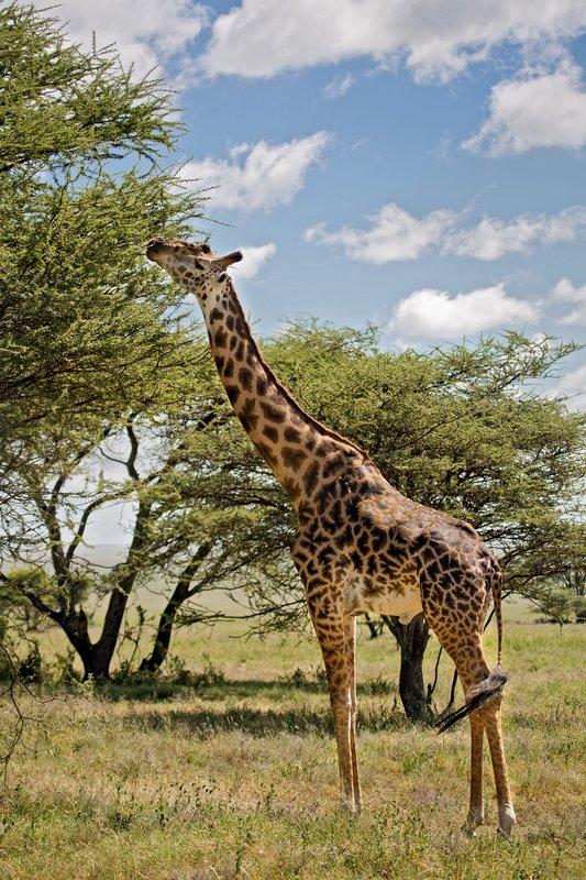 large_Giraffe_9-102.jpg