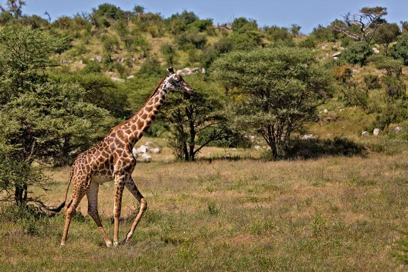 large_Giraffe_9-104.jpg