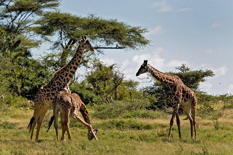 large_Giraffe_9-51.jpg