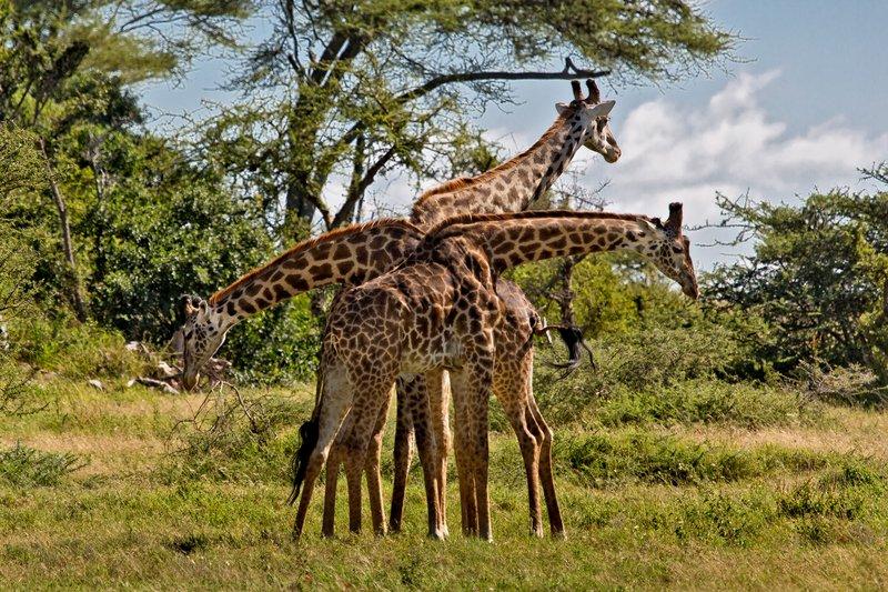large_Giraffe_9-53.jpg