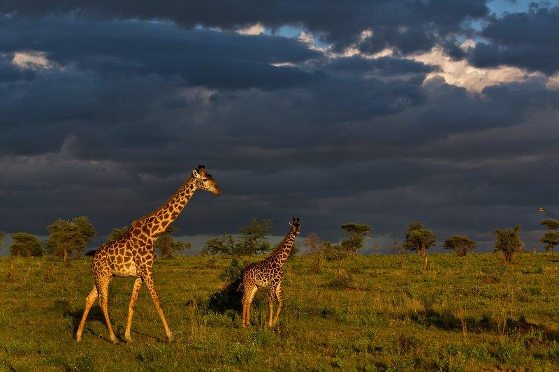 large_Giraffe_9-76.jpg