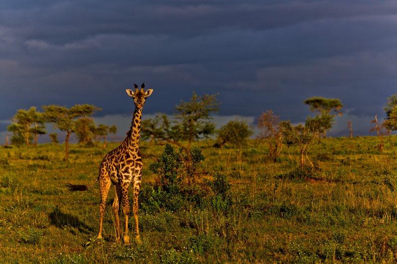 large_Giraffe_9-81.jpg