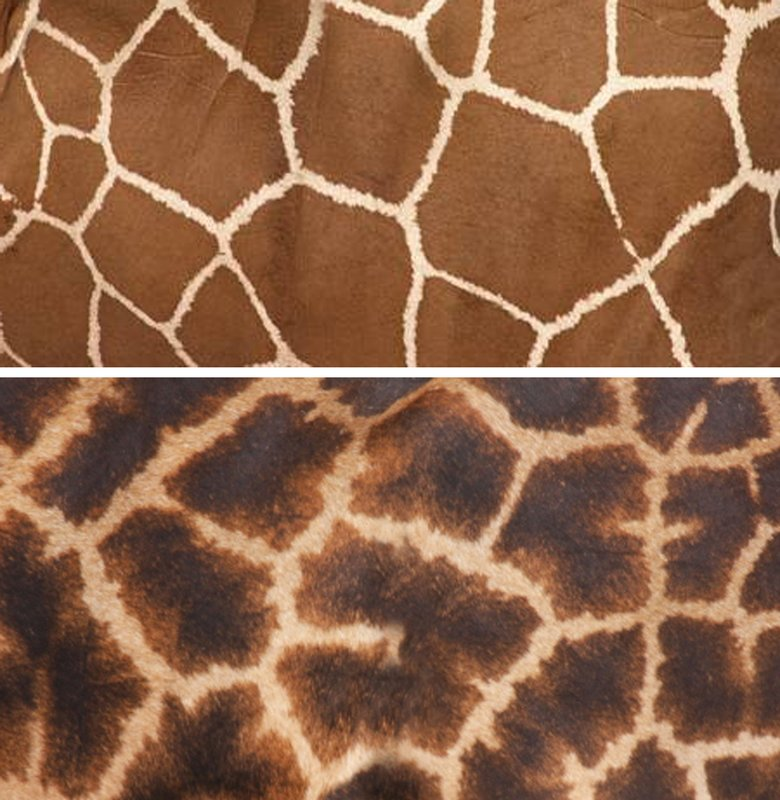 large_Giraffe_Comparison.jpg