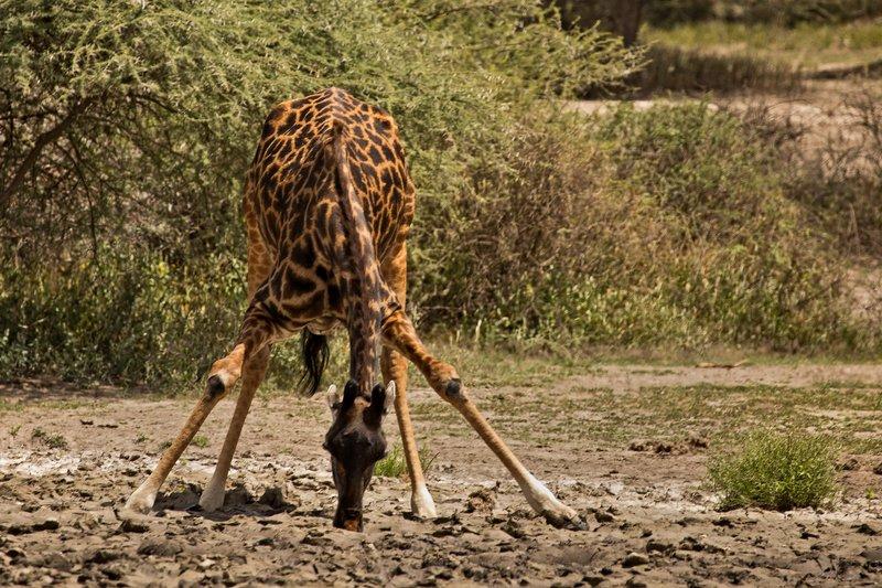 large_Giraffe_Drinking_1.jpg