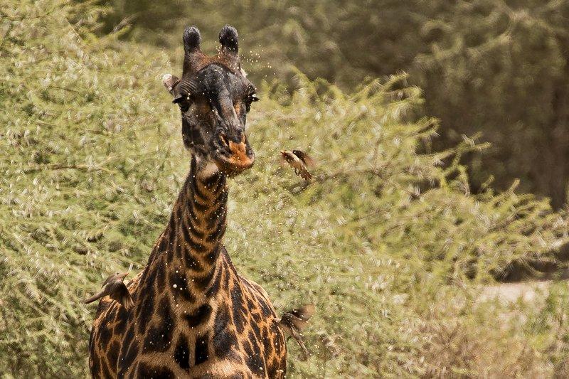 large_Giraffe_Drinking_4.jpg