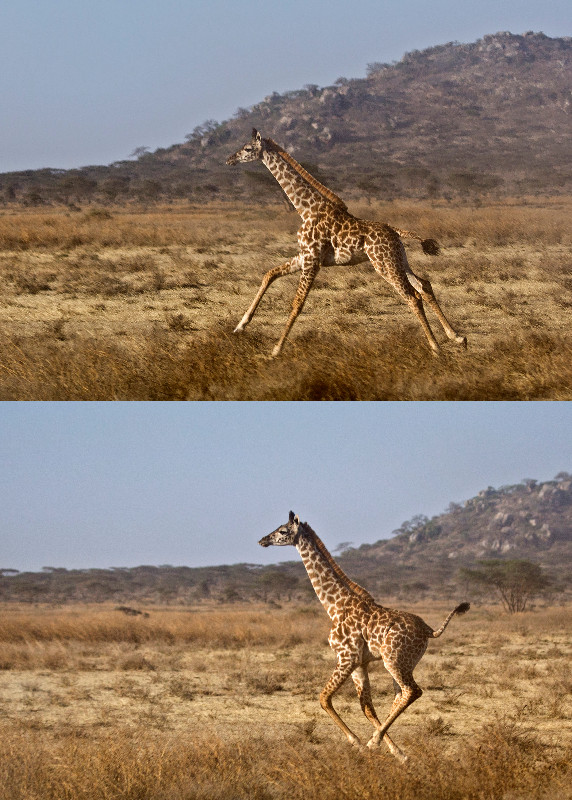 large_Giraffe_Running_1.jpg