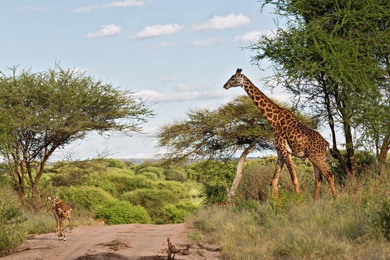 large_Giraffe_and_Impala_5-21.jpg