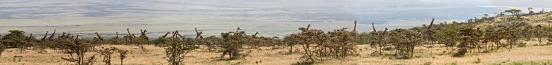 large_Giraffe_at.._Panorama_1.jpg