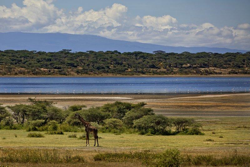 large_Giraffe_at_Lake_Ndutu_21.jpg