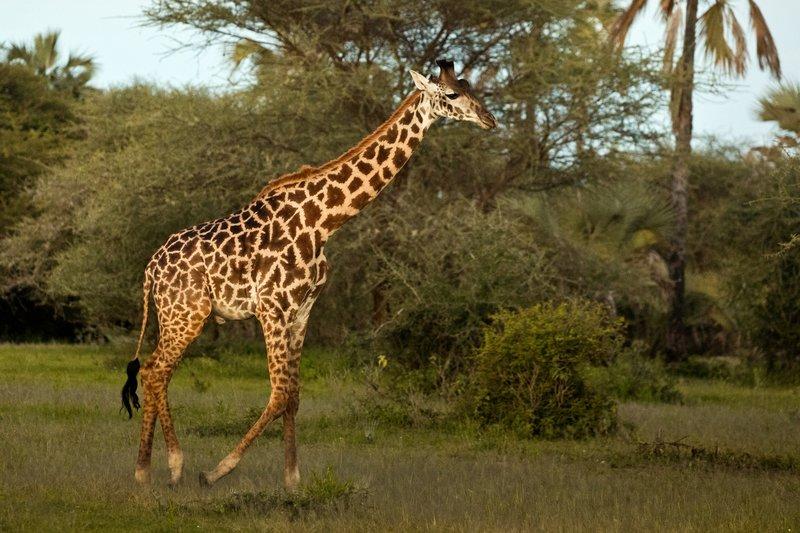 large_Giraffe_in.._Maramboi_2.jpg