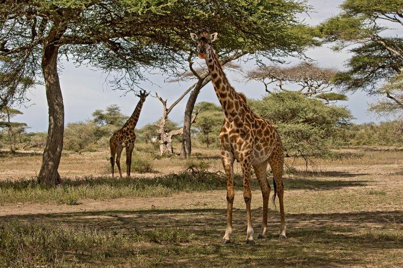 large_Giraffes_61.jpg