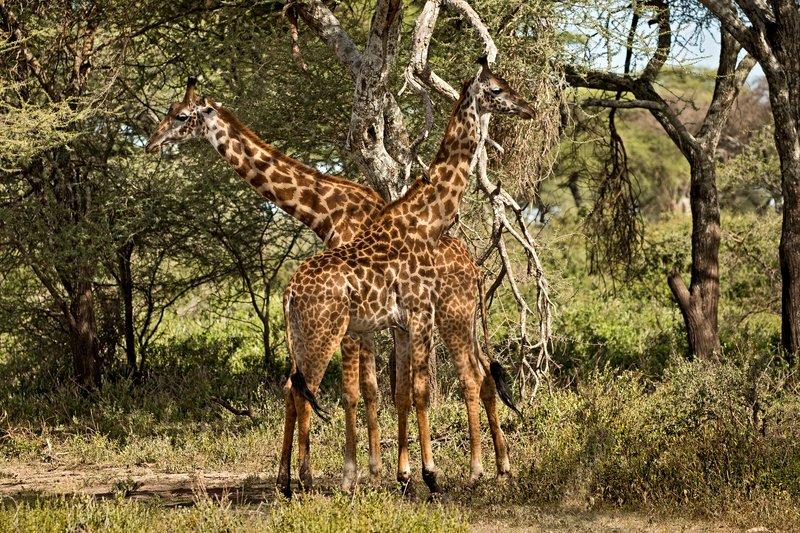 large_Giraffes_62.jpg