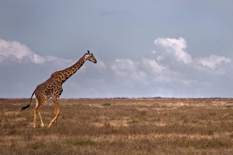 large_Giraffes_8-2.jpg