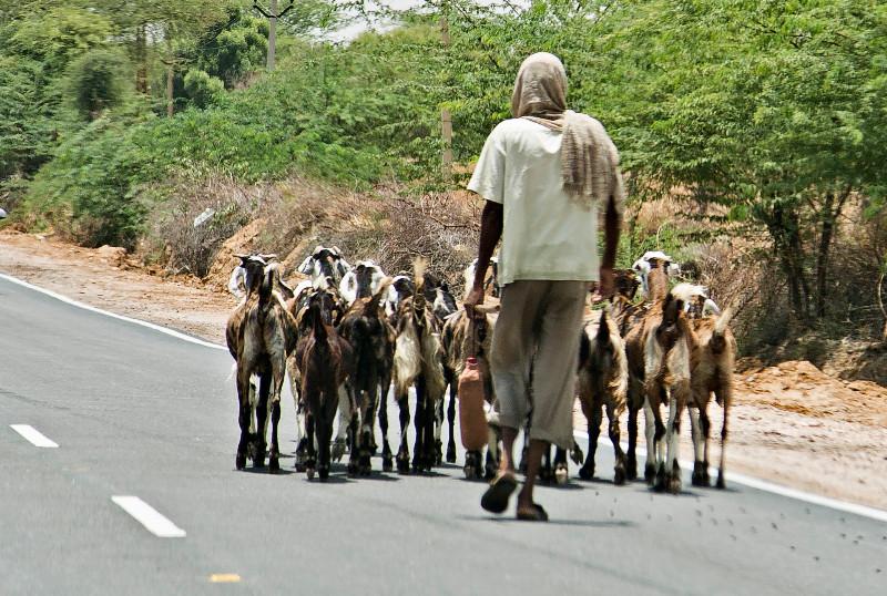 large_Goats_1.jpg