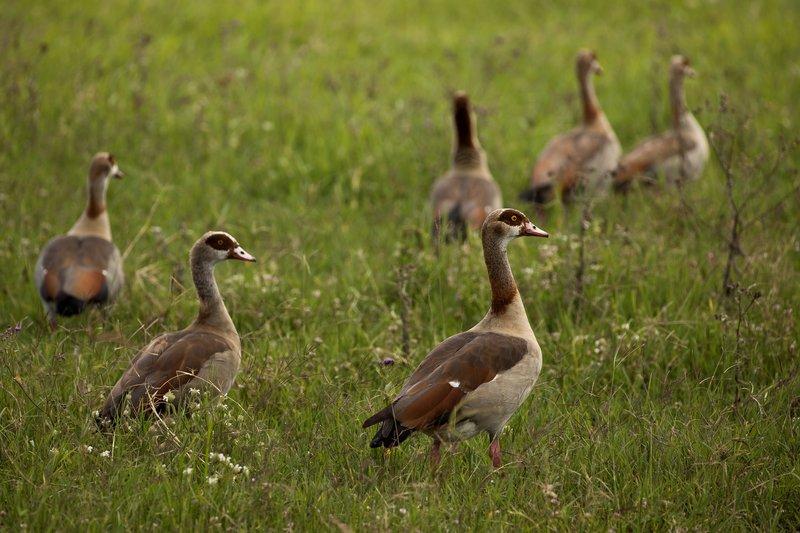 large_Goose__Egyptian_32.jpg