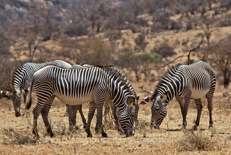 large_Gr_vy_s_Zebra_44.jpg