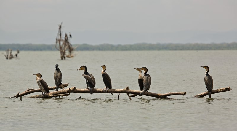 large_Great_Cormorant_24.jpg