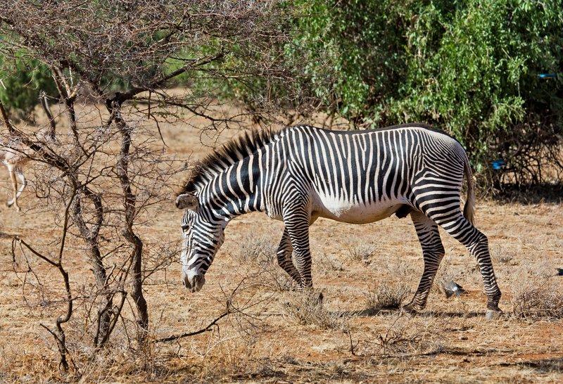 large_Grevy_s_Zebra_1.jpg