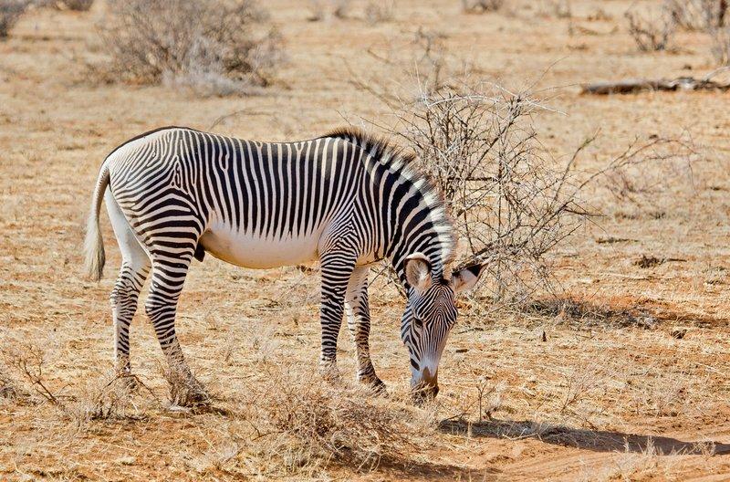 large_Grevy_s_Zebra_3.jpg