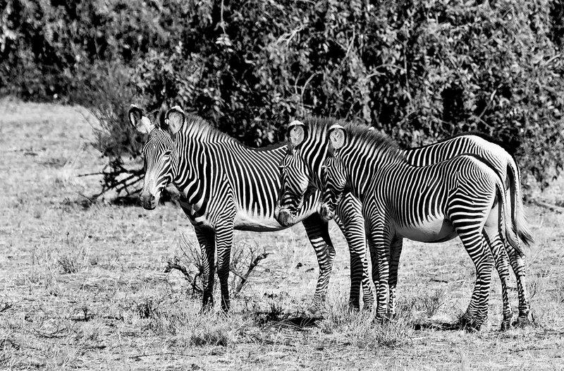 large_Grevy_s_Zebra_4_B_W.jpg