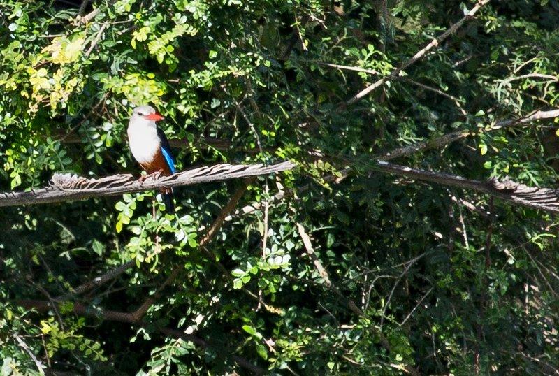 large_Grey_Headed_Kingfisher_1.jpg